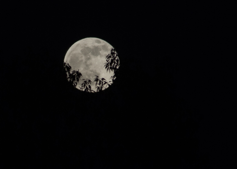 Full Super moon with tree silhouette