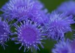 061413-Blue-stringy-flowers-WEB