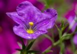 061413-Deep-purple-flower-WEB