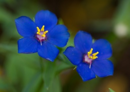 061413-Favorite-blue-flowers-WEB