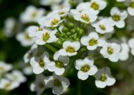 061413-Tiny-white-flowers-WEB