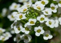 061413-Tiny-white-flowers-WEB